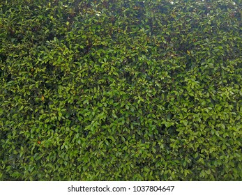 Background of green several green leaves, wall from nature plants