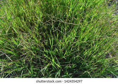 Background with green tall grass