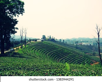 Background of green tea plantations in northern Thailand
