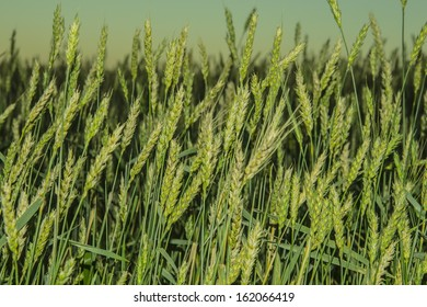 Background of Green wheat in the field.