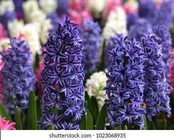 Background: Hyacinth Flowers