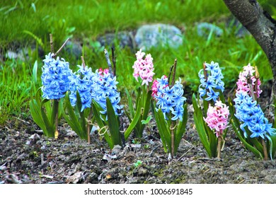 Background hyacinths flowering in garden. Macro of blue & pink hyacinth flowers. Many bunches of blue hyacinth flowers in spring field. Early spring hyacint plant as background or card for womens day