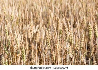 Background image of an almost matured wheat field