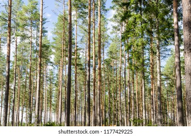 Background image from a beautiful pine tree forest with tall tree trunks