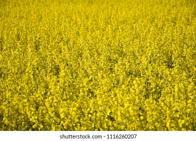 Background image with a blossom rapeseed field