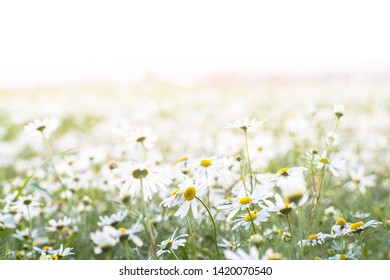 A background image of common chickweed with narrow focus at sunset