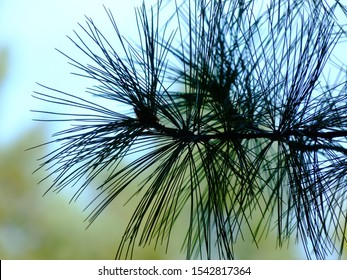 background image of green Scotch pine twig with long green needles under blue sky. freshness, nature and outdoors concept. Pinus sylvestris in Latin. The Spruce. selective focus. blurry background