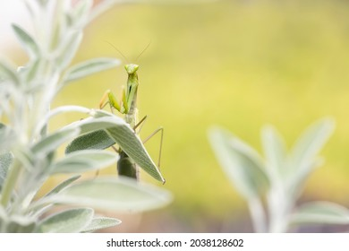 Background image with a large green European praying mantis in the bright light.