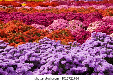 A background image of mums in many shades of pink