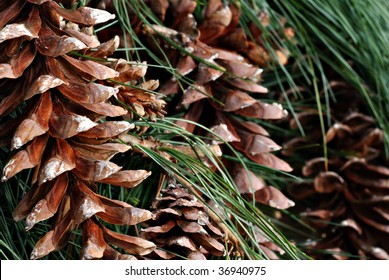 Background image of pine cones and needles from white pine tree.  Macro with shallow dof.