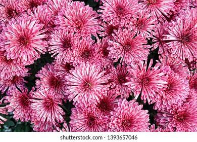 Background image of  pink chrysanthemum flowers