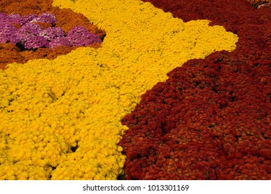 A background image of thousands of different colored mums in bloom