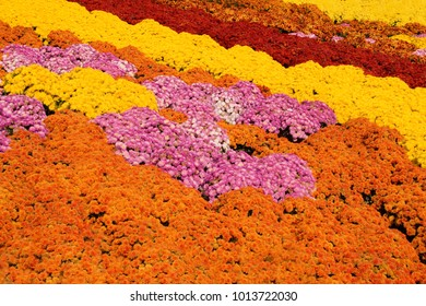 A background image of thousands of multi-colored mum flowers.