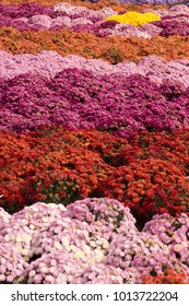 A background image of thousands of mum flowers