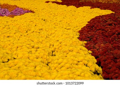 A background image of thousands of mums in bloom