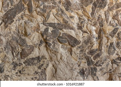 Background with Imprint of fossil prehistoric plant foliage on stone