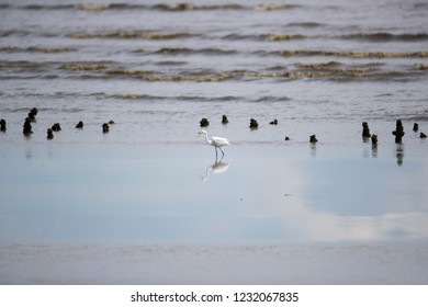 Background of Intermediate Egret (Ardea intermedia) or yellow-billed egret, low angle view, side shot foraging under clear sky on the beach of Pak Thale, Ban Laem, Phetchaburi, southern of Thailand.