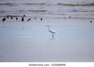 Background of Intermediate Egret (Ardea intermedia) or yellow-billed egret, low angle view, side shot, foraging under clear sky on the beach of Pak Thale, Ban Laem, Phetchaburi, southern of Thailand.