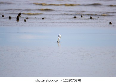 Background of Intermediate Egret (Ardea intermedia) or yellow-billed egret, low angle view, front shot, foraging fish under clear sky on beach of Pak Thale, Ban Laem, Phetchaburi, southern of Thailand