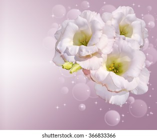 background with the Irish Rose. Eustoma.