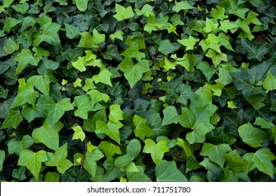 background of ivy leaves