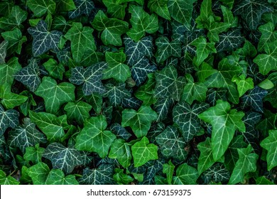 Background of ivy leaves. Concept background and texture.