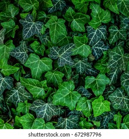Background of ivy leaves. Square. Concept background and texture.