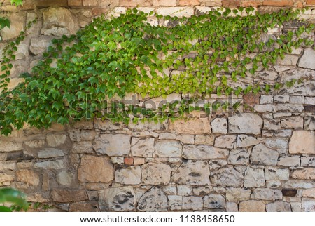 Background. Ivy on the stone wall in the springtime.