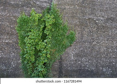 background with ivy plants covering stone wal
