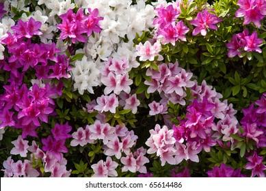 Background of Japanese pink white and purple azaleas