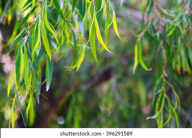 Background with   jarrah  leaves (Eucalyptus marginata)