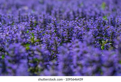 Background of lavender field