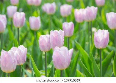 background with light pink tulips in green grass