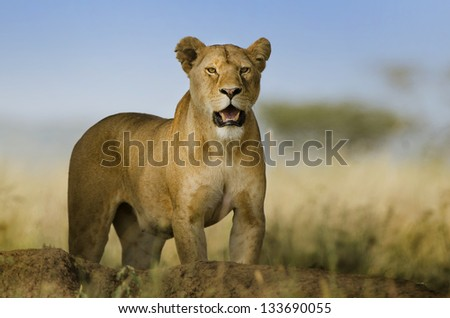 background lioness look dangerous