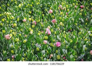 Background with lisianthus flower or auspicious flowers farm