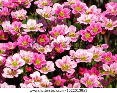 Background little pink flowers plant saxifraga stock photo edit now background little pink flowers plant saxifraga pink little flowers background purple flowers or pink mightylinksfo