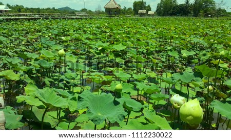 Background Lotus Flowers Bamboo Bridge Lotus Stock Photo Edit Now