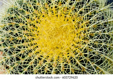 background of macro yellow and green cactus