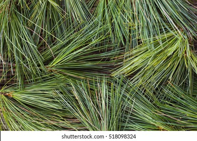 A background made from fresh white pine needles.
