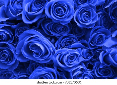 Background of many blue roses. Valentine's Day.