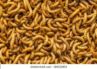 Background of many living Meal worms suitable for Food