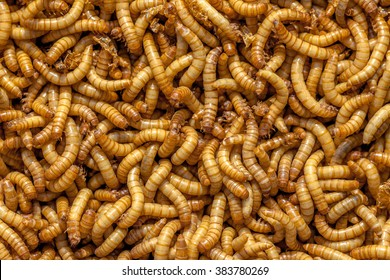 Background of many living Mealworms suitable for Food