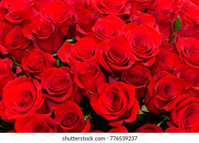 Background of many red roses. Scarlet luxury rose close. Noble holiday flowers for a gift. Romantic love symbol - the most beautiful flowers.