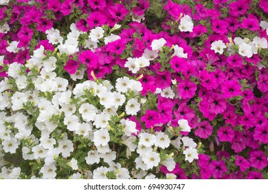 Background - many trailing vibrant white and pink surfinia flowers