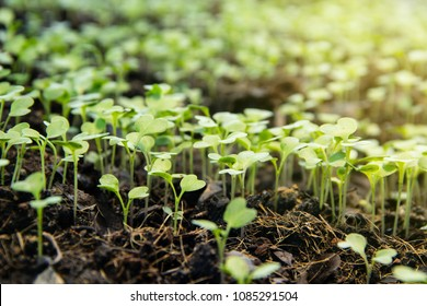 Background Natural sapling, Garden nursery group little sprouts sapling of Chinese kale growing from the ground.