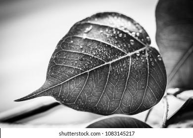 background nature Bodhi Tree