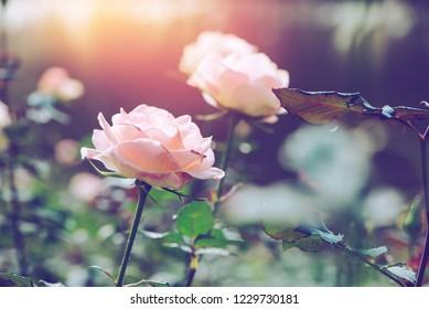 background nature Flower Valentine. Orange pastel rose full flower. Blurred Background