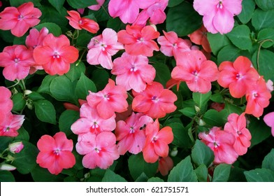 Background of New Guinea Impatiens flowers ( Impatiens hawkeri w.bull., New Guinea Hybrids ) and green leaves, Close up