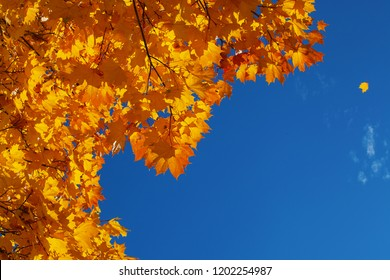 Background from orange and yellow autumn leaves and the blue bright sky with the falling leaflet
