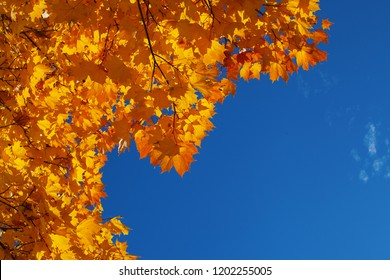 Background from orange and yellow autumn maple leaves and the blue bright sky